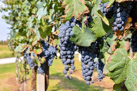 vi�edo: Photo Foto de una hermosa fruta de la uva del vi�edo Listo para Producci�n de Vino Foto de archivo