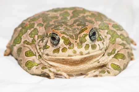 bufo toad: Big Ugly Frog Common European Toad Bufo