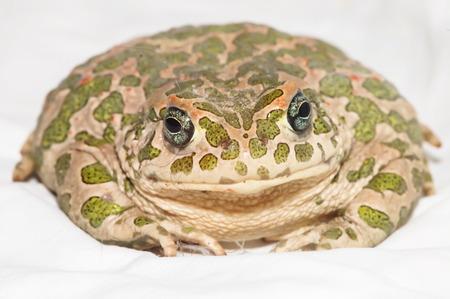 bufo toad: Big Ugly Frog Common European Toad Bufo