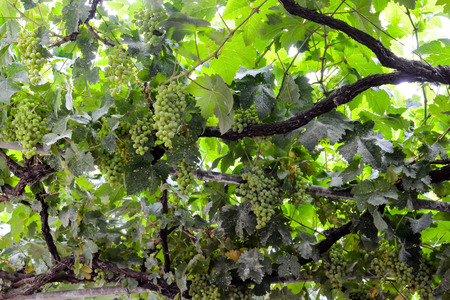 l agriculture: Photo Picture of a Beautiful Grape Fruit Vineyard Ready to Produce Wine