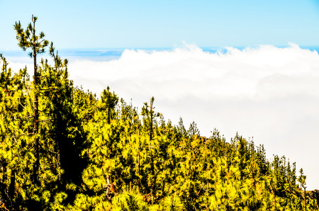 pine cone: High Clouds over Pine Cone Trees Forest in Tenerife Island Stock Photo