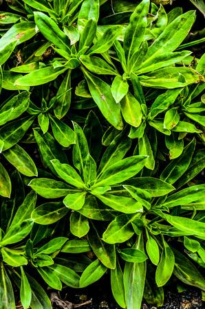 echium: Green Succulent Cactus Plant Leaves Tajinaste Echium