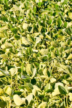 soja: Photo Picture of a Soy Bean Plant Field