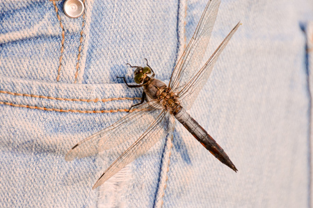 imperator: Picture of a Dragonfly Anax imperator