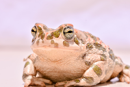 bufo toad: Picture of a Bufo Common European Toad Stock Photo
