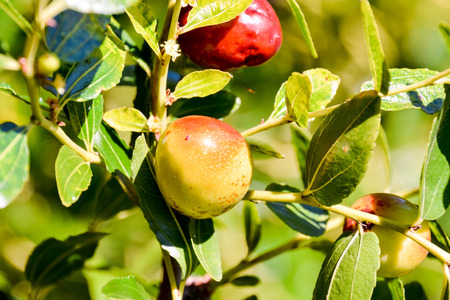 national fruit of china: Picture of a Rare Zizyphus jujuba Tropical Fruit Stock Photo