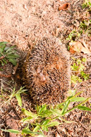 mammal: Picture of an European Hedgehog Mammal Animal