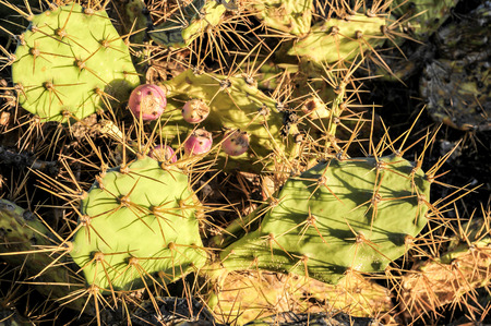 prickly pear: Green Prickly Pear Cactus Leaf in the Desert
