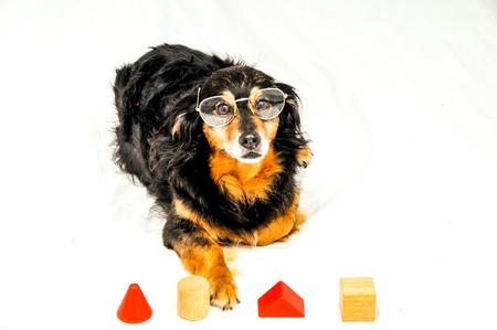 One Old Female Black Dog Doing an IQ Test Banco de Imagens