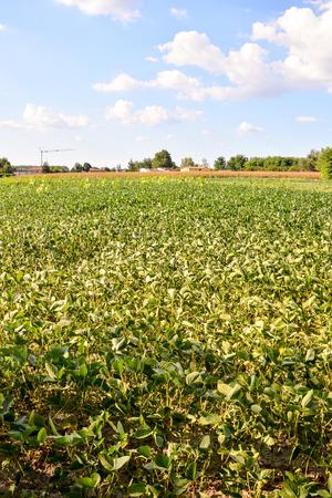 planta de frijol: Photo Foto de una planta de frijol de campo Sy Foto de archivo