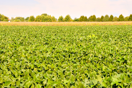 monoculture: Photo Picture of a Soy Bean Plant Field