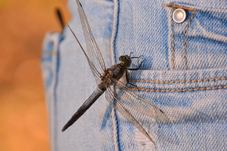 dragonfly: Photo Picture of a Dragonfly Anax imperator Stock Photo