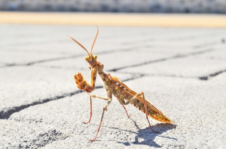 crawly: Brown Colored Adult Smart Insect Mantis Religiosa