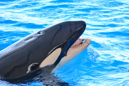 mammal: Photo Picture of a Mammal Orca Killer Whale Fish Stock Photo