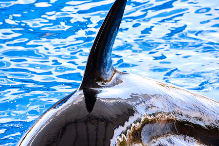 killer whale: Photo Picture of a Mammal Orca Killer Whale Fish Stock Photo