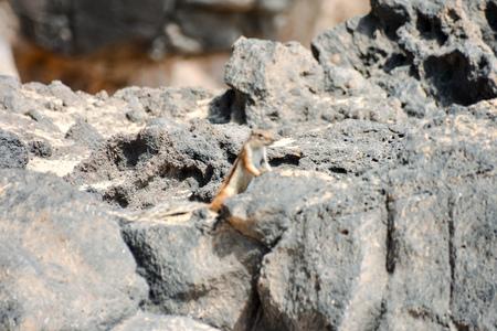 fuerteventura: Barbary Ground Squirrel Atlantoxerus Getulus on the Spanish Island Fuerteventura