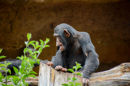 mammal: Wild Black Chimpanzee Mammal Ape Monkey Animal Stock Photo
