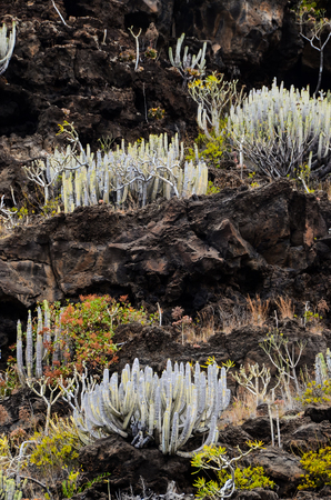obrero: Cactus en la monta�a volc�nica bas�ltica Negro en la isla de El Hierro Canarias
