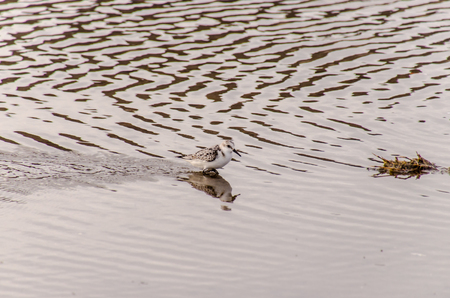 one adult: One Adult Kentish Plover Water Bird near a Beach Stock Photo