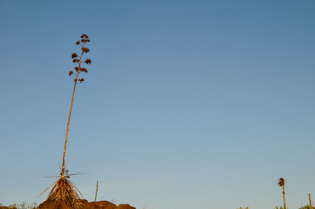 agave: Green Agave Flowers In Gran Canaria Island, Spain