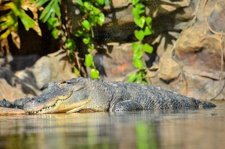 alligator eyes: Big Brown and Yellow Amphibian Prehistoric Crocodile Stock Photo