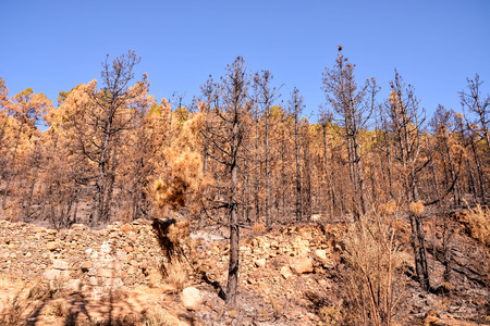 bushfire: Effects of the Fire in a Forest, in Canary Islands, Spain