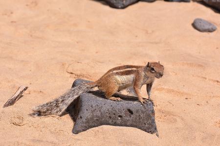 barbary: Barbary Ground Squirrel Atlantoxerus Getulus on the Spanish Island Fuerteventura