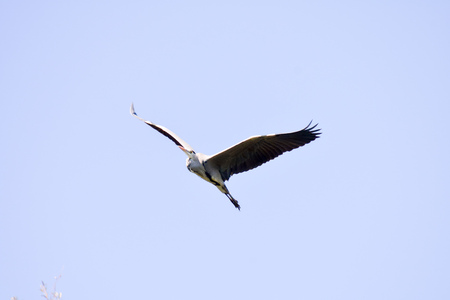 ardeidae: Photo Picture of a Great Blue Heron Flying Stock Photo