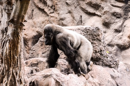 hairy back: Photo Picture of a Big Mammal Gray Adult Strong Gorilla