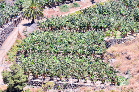 canary: Banana Plantation Field in the Canary Islands Stock Photo