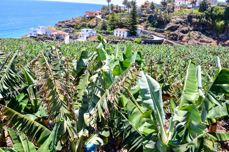 canary islands: Banana Plantation Field in the Canary Islands Stock Photo