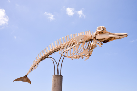 fish animal: Photo Picture of the Dry Whale Mammal Skeleton
