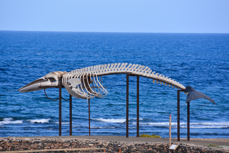 mammal: Photo Picture of the Dry Whale Mammal Skeleton