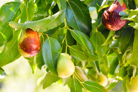 Photo Picture of a Rare Zizyphus jujuba Tropical Fruit