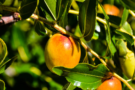 national fruit of china: Photo Picture of a Rare Zizyphus jujuba Tropical Fruit