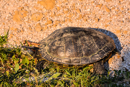 terrapin: Photo Picture of Red Eared Terrapin Trachemys Scripta Elegans Tortoise