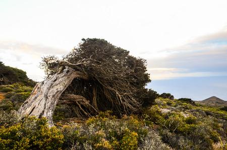 enebro: Nudoso árbol del enebro formado por el viento en El Sabinar, Isla de El Hierro