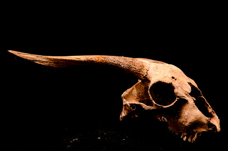 cranium: Dry Goat Skull with Big Horns on Black Background Stock Photo