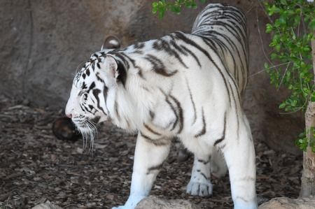 Rare Black and White Striped Adult Tiger Stock Photo