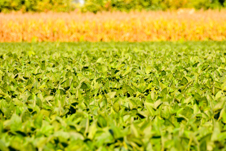 soy bean: Photo Picture of a Soy Bean Plant Field