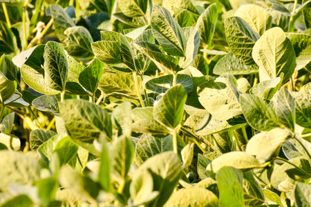 bean plant: Photo Picture of a Soy Bean Plant Field
