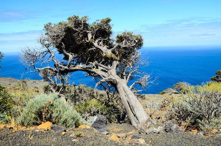 enebro: Gnarled Juniper Tree Shaped By The Wind at El Sabinar, Island of El Hierro Foto de archivo