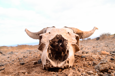 Dry Goat Skull on the Rock Desert Canary Islands Spain Stock Photo