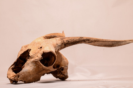 Dry Goat Skull with Big Horns on White Background