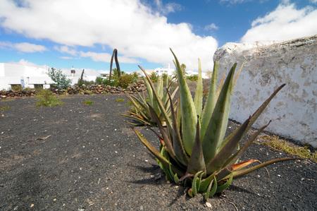 Aloe vera plants on a rock field in Lanzarote, Spain