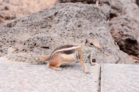 ardilla: Barbary Ground Squirrel Atlantoxerus Getulus en la isla de Fuerteventura español Foto de archivo
