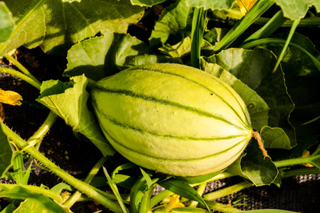 Cantaloupe: Photo picture of Melon plant in a vegetable garden