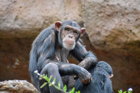 ape: Wild Black Chimpanzee Mammal Ape Monkey Animal Stock Photo