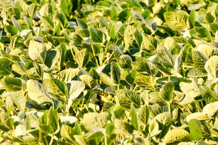 planta de frijol: Photo Picture of a Soy Bean Plant Field