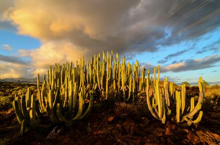 cholla: Calm Cactus Desert Sunset in Tenerife Canary Island